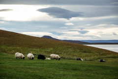 Sheeps. Near the Mývatn lake in the north of Iceland Royalty Free Stock Photos