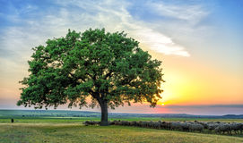 Sheeps near an oak in the sunset eating Royalty Free Stock Image