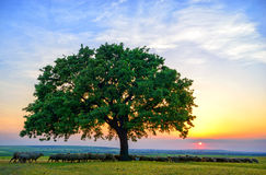 Sheeps near an old oak in the sunset and sky Stock Photography