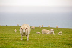 Sheeps near the sea, New Zealand Stock Photography
