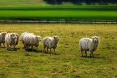 Sheeps near Stonehenge landscape England Royalty Free Stock Images