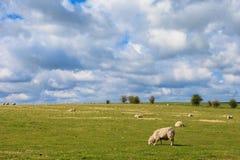 Sheeps near Stonehenge landscape England Stock Photo
