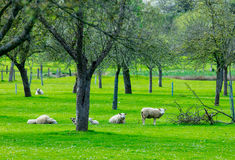 Sheeps near trees. Photo of cute sheeps resting on the grass near wonderful trees Royalty Free Stock Image