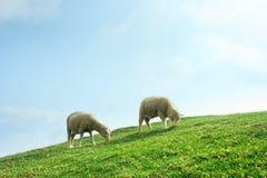 Sheeps nel campo Fotografie Stock