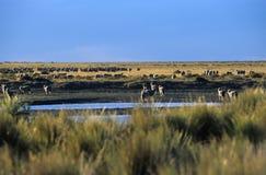 Sheeps nella steppa Fotografie Stock Libere da Diritti