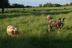 Sheeps Netherlands. Sheeps in pasture in Netherlands Royalty Free Stock Photo