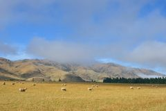 Sheeps in New Zealand Stock Photography
