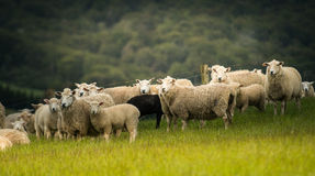 Sheeps in Nieuw Zeeland Stock Foto's