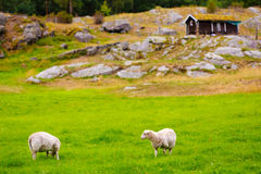 Sheeps no pasto Paisagem de Noruega Fotografia de Stock Royalty Free