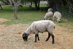 Sheeps noir Images libres de droits