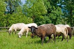 Sheeps noirs et blancs sur le pré Photos libres de droits