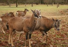 Sheeps. Northern sheep in a natural park Royalty Free Stock Photography