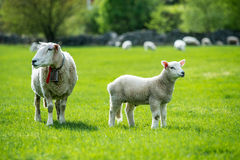 Sheeps of Norway. Beautiful sheeps in the valleys of Norway Royalty Free Stock Photo