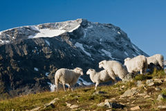 Sheeps in norway Royalty Free Stock Photo