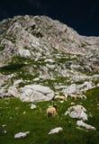 Sheeps nos alpes Imagens de Stock