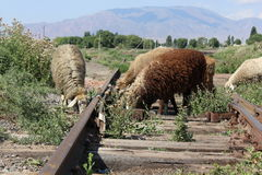 Sheeps on old train tracks Royalty Free Stock Photo