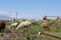 Sheeps on old train tracks Royalty Free Stock Photography