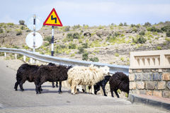 Sheeps Oman Arkivbilder
