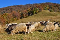 Sheeps On A Hillside. Royalty Free Stock Image