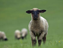 Sheeps On The Farm Stock Image