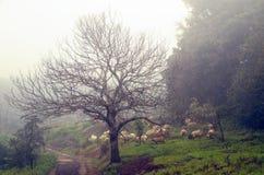 Sheeps onder mist Stock Fotografie