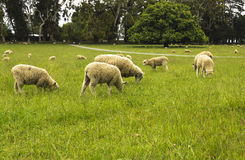 Sheeps at One Tree Hill Farm Stock Image
