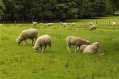 Sheeps at One Tree Hill Farm Royalty Free Stock Photo
