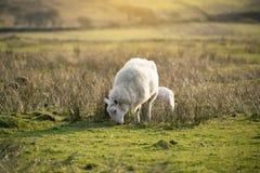 Sheeps, ooi en lamp, die zich op een gebied bevinden, die gras in een landbouwbedrijf eten royalty-vrije stock afbeeldingen