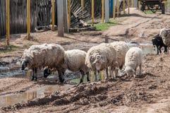Sheeps op de landweg Royalty-vrije Stock Afbeeldingen
