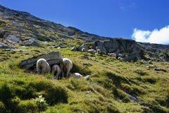 Sheeps op de sleep in Zwitserse bergen Royalty-vrije Stock Afbeelding