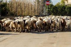 Sheeps op de weg Royalty-vrije Stock Afbeelding