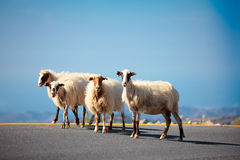 Sheeps op de weg Stock Fotografie