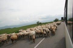 Sheeps op de weg Stock Afbeeldingen