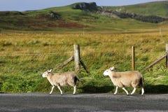 Sheeps op de weg, Eiland van Skye, Schotland Royalty-vrije Stock Foto's
