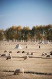Sheeps op de weide stock afbeelding