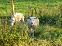 Sheeps op de weide Royalty-vrije Stock Afbeeldingen