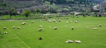 Sheeps op een voetbalgebied stock afbeelding