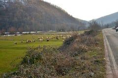Sheeps op een weg in Macedonië Royalty-vrije Stock Afbeeldingen