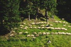 Sheeps op Gras Stock Afbeelding