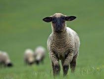 Sheeps op het landbouwbedrijf Stock Afbeelding