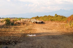 Sheeps op het landbouwbedrijf Stock Afbeeldingen