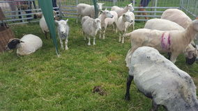 Sheeps op het landbouwbedrijf Royalty-vrije Stock Afbeelding