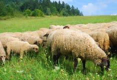Sheeps op het weiland Stock Foto