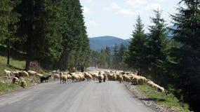Sheeps op Prislop-pas in Roemenië Stock Afbeelding