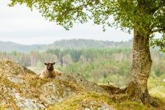 Sheeps op rotsheuvel Stock Afbeelding