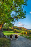 Sheeps op voetpad bij zonsondergang in het Meerdistrict, het UK Royalty-vrije Stock Afbeelding