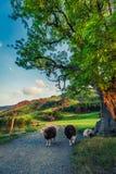 Sheeps op voetpad in het Meerdistrict bij zonsondergang Stock Foto's
