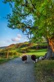 Sheeps op voetpad in het Meerdistrict, Engeland Royalty-vrije Stock Fotografie