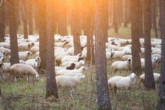 Sheeps op weiland in bos door selectieve nadruk stock afbeelding