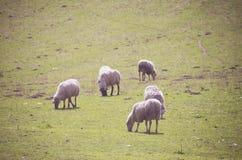 Sheeps (Ovis aries) Στοκ Εικόνες